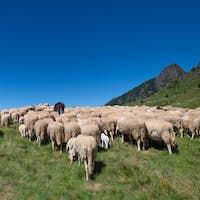 Flockof of sheep