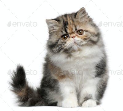 Persian kitten (3,5 months old)