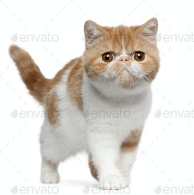 Exotic shorthair kitten (4 months old)