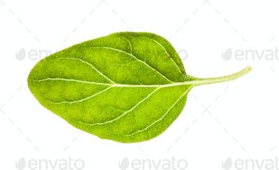 fresh leaf of Oregano herb isolated on white