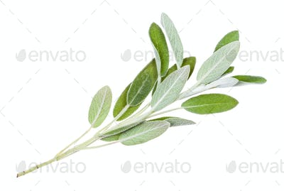 green twig of sage (salvia officinalis) isolated