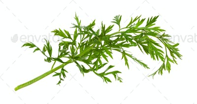 green leaves of carrot plant isolated on white