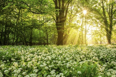 Morning sun shining through forest leaves onto a field of wild garlic in bloom
