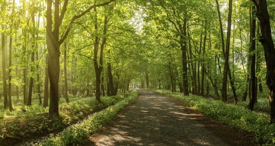 Rays of light fall through a canopy of leaves onto an old road underneath