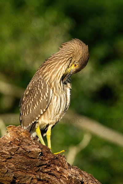 Young black-crowned night heron scratching on wood in summer nature