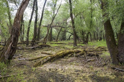Forested marshland with fallen and decaying trees