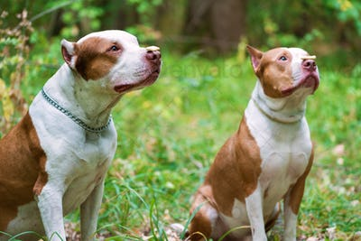 Two Pit bull terriers with cookie on nose