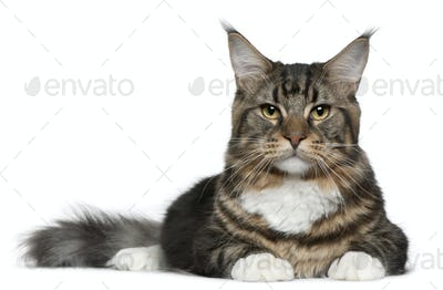 Maine Coon (9 months old)