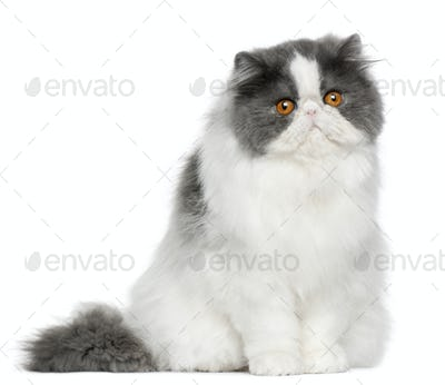 Persian (10 months old)