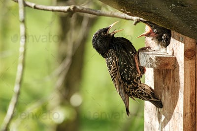 Common starling sits on a birdhouse and feeds a chick