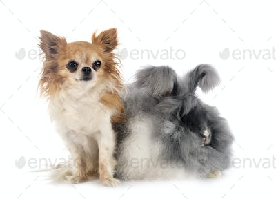 English Angora rabbit and chihuahua