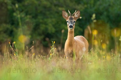 Roe deer buck standing on meadow with flowers in summertime nature