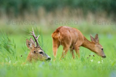 Pair of roe deer lying and sniffing on meadow in summer