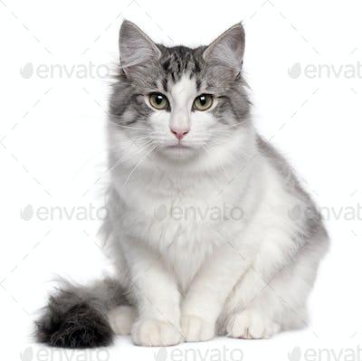 Norwegian Forest Cat (5 months old), Norwegian Forest Cat (5 mon