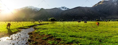 Panoramic view. Argentine Chilean Patagonian landscape with freely grazing cows near a river. Group