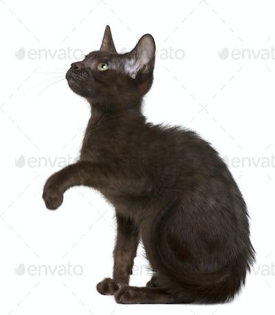 Havana Brown kitten (15 weeks old)