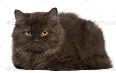 British Longhair kitten (3 months)