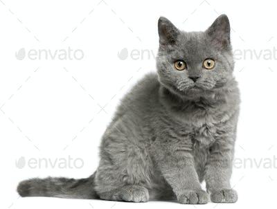 Selkirk Rex kitten (3 months old)