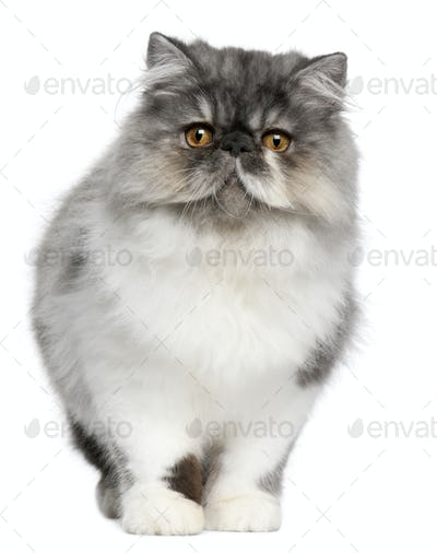 Persian (6 months old)