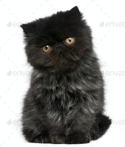 Persian kitten (3 months old)