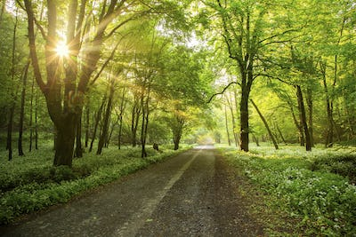 Forest road with morning sun peeking through the branches