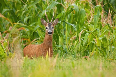 Roe deer buck standing in corn field during the summer