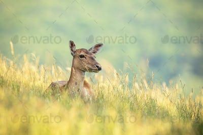 Fallow deer doe lying on field during the summertime