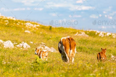 Cows on a meadow in Alps Austria