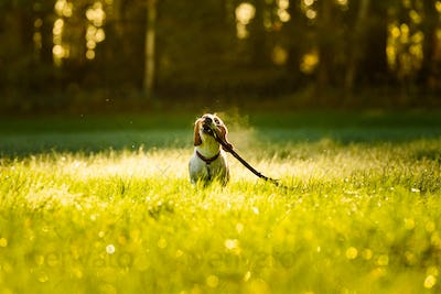 Dog, pure breed beagle jumping and running like crazy with stick through morning dew in autumnal