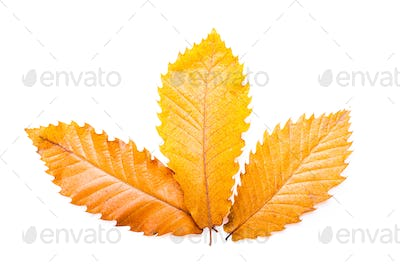 Chestnuts brown leaves. Raw Chestnuts for Christmas Autumn time