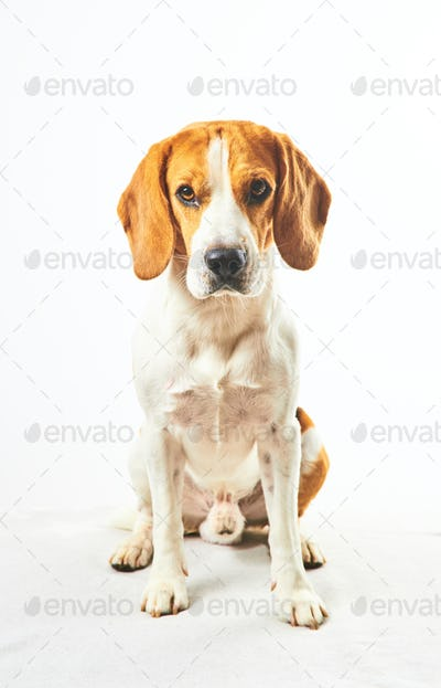 Beagle dog, sitting and looking towards camera in front of white background