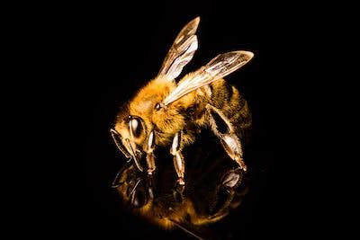 Honey bee macro, isolated on black background. Bee concept