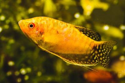 Aquarium Fish Golden gourami Trichogaster trichopterus Gold in fish tank