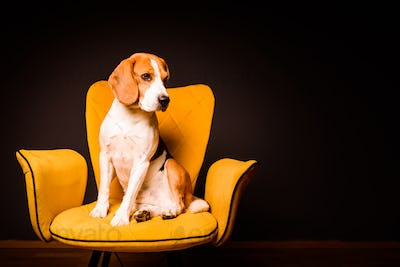 A beagle dog sits on a yellow chair in front of a black background. Cute dog on furniture, copy