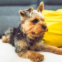 The Yorkshire Terrier lying on a couch, sofa. Small dog concept