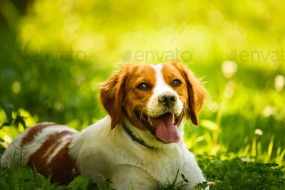 Brittany Spaniel dog lying in grass hidding from summer heat