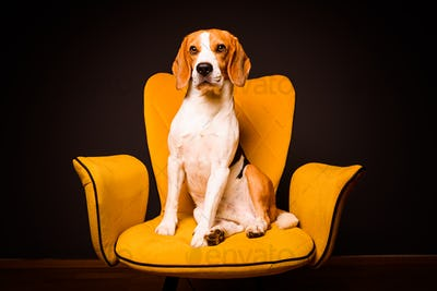 A beagle dog sits on a yellow chair in front of a black background. Cute dog on furniture