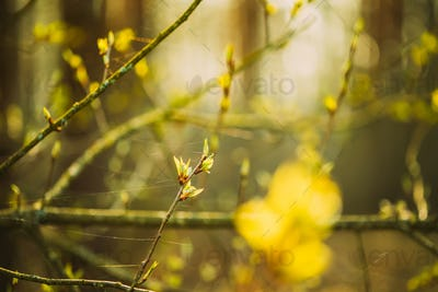 Young Spring Green Leaf Leaves Growing In Branch Of Forest Bush Plant Tree During Sunrise Or Sunset