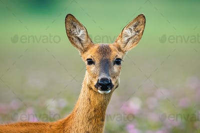 Roe deer doe standing on meadow looking to the camera