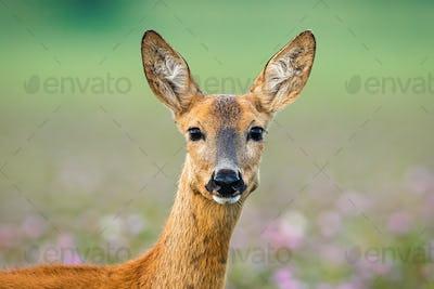 Roe deer doe standing on meadow looking to the camera