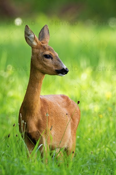 Roe deer female standing on meadow in the summer from front