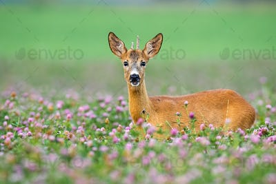 Young roe deer buck with little antlers looking from clover during the summer
