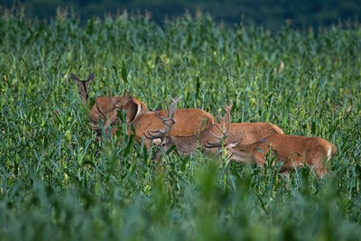 Group of red deer eating on corn field during the summer