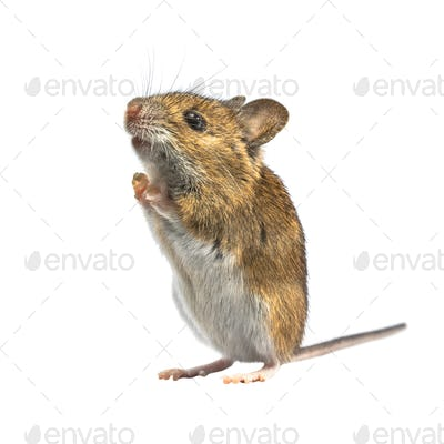Ramping mouse isolated on white background