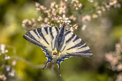 Scarce swallowtail on tree heath