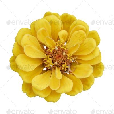 Beautiful yellow flower zinnia isolated.