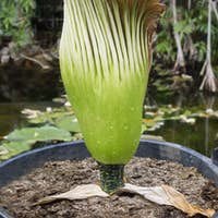 Amorphophallus titanum, titan arum, corpse flower
