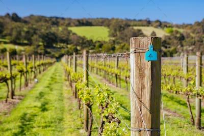 Mornington Peninsula Vines in Australia