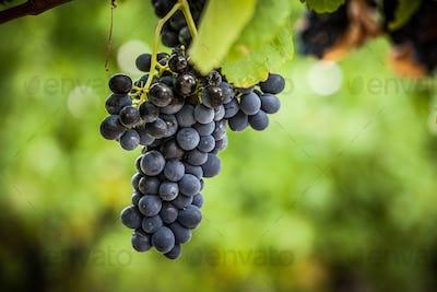 Pinot Noir Grapes in Yarra Valley Australia