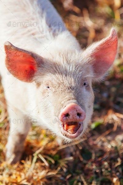 Piglets Roaming In Rural Australia